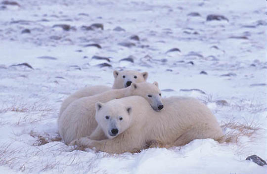 Polar Bear, (Ursus maritimus) Mother and cubs resting. Churchill, Manitoba. Canada.