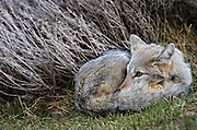 Patagonian gray fox curled up to kep warm near gray bush.