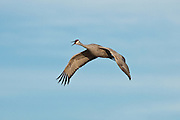 Bosque del Apache National Wildlife Refuge, New Mexico, a Sandhill Crane (Grus canadensis) calling in flight