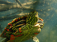 Western Painted Turtle<br />