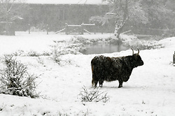 © under license to London News Pictures. 30.11.2010 A Yak standing in the snow in Eynsford,Kent. Picture credit should read Grant Falvey/London News Pictures