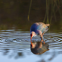 Southeast Florida bird photography from nature photographer Juergen Roth showing a Swamphen wading the waters Wakodahatchee Wetlands in Palm Beach County, FL.  <br />
