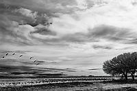 Sandhill Cranes [Grus canadensis] in corn field; Bosque del Apache NWR., NM