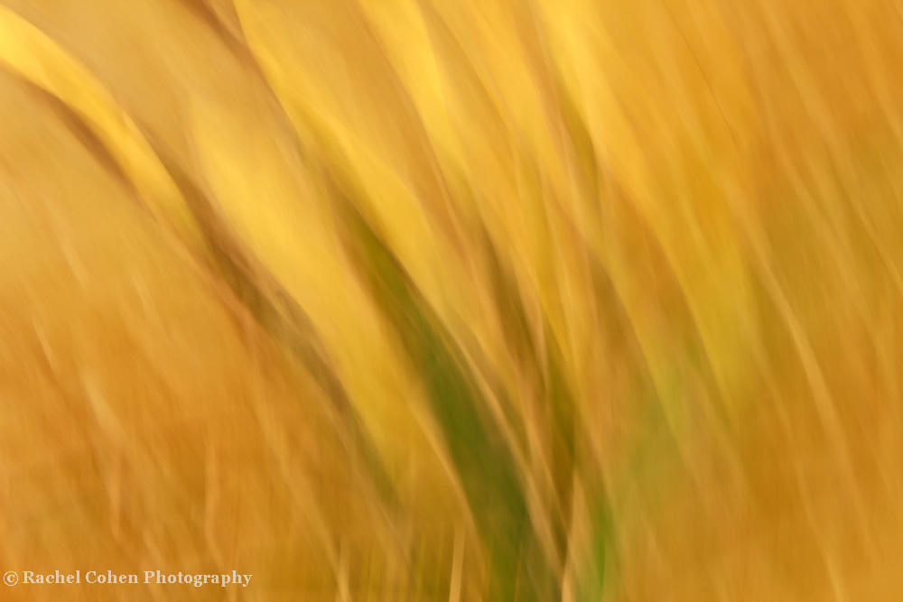 &quot;Waves of Gold&quot;<br /> <br /> <br /> Nature Abstract by Rachel Cohen