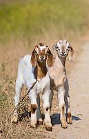 Baby goats (kids) in the Terai region of Nepal