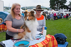 © Licensed to London News Pictures. 18/08/2018. Llanelwedd, Powys, UK.  Shetland Sheepdogs get groomed on the second day of The Welsh Kennel Club Dog Show, held at the Royal Welsh Showground, Llanelwedd in Powys, Wales, UK. Photo credit: Graham M. Lawrence/LNP