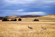 Wild emus near Burra. South Australia.