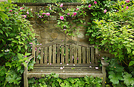 A teak garden bench inscribed to Margery Fish and Rosa 'Zephirine Drouhin' a pink climbing rose on a stone wall in East Lambrook Manor Gardens, Souther Petherton, Ilminster, Somerset, UK