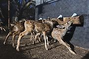 Black-tailed Deer<br /> Odocoileus hemionus<br /> Six-week-old orphaned fawns bottle-feeding<br /> Kindred Spirits Fawn Rescue, Loomis, California