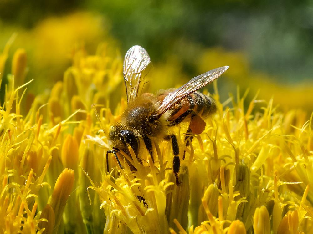 A honey bee dutifully collecting pollen.<br /> <br /> Camera <br /> NIKON D7100<br /> Lens <br /> 40.0 mm f/2.8<br /> Focal Length <br /> 40<br /> Shutter Speed <br /> 1/320<br /> Aperture <br /> 16<br /> ISO <br /> 250
