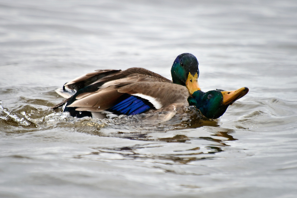 Fighting drake mallards (Anas platyrynchos) in a dispute over proximity to females, one male is hanging onto the neck feathers of the fleeing male, Choptank River, Cambridge, Maryland