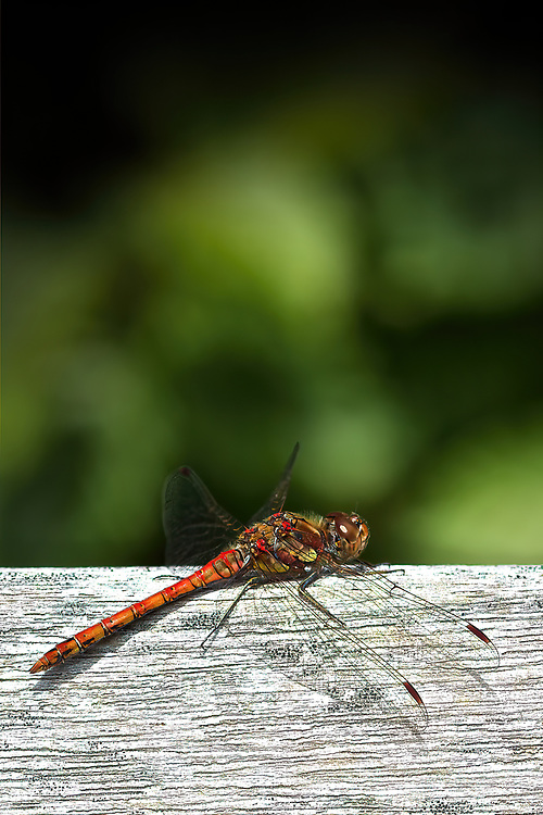 Common Darter Dragonfly<br /> This dragonfly was just laying in the sunshine warming it's wings.