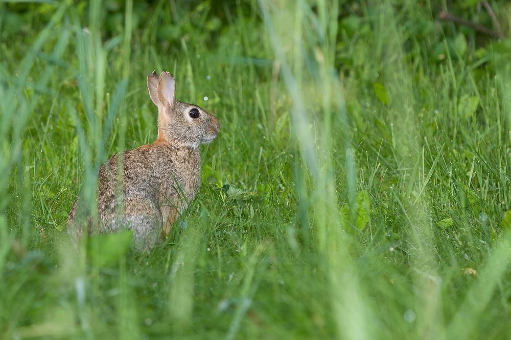 Eastern Cottontail Rabbit (Sylvilagus floridanus) in long grass