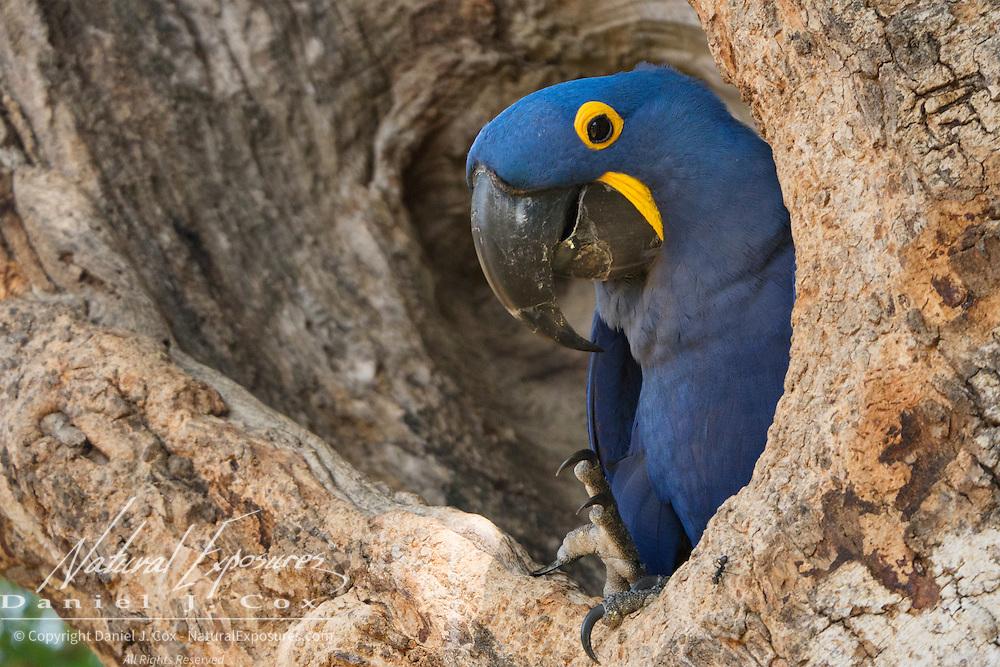 Hyacinth Macaw (Anodorhynchus hyacinthinus) at a nest site. Pantanal, Brazil