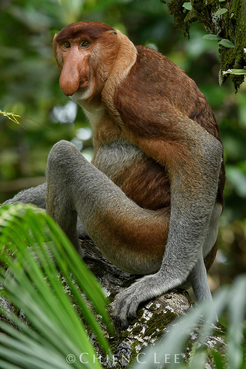 One of Borneo's most famous endemic mammals, the Proboscis Monkey (Nasalis larvatus) is restricted to coastal swamp forests and mangroves. Bako National Park, Sarawak.