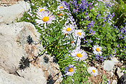 From the High Note Trail on Whistler Mountain, admire flowers of aster and lupine in Garibaldi Provincial Park, in the Coast Range, British Columbia, Canada. The aster, daisy, or sunflower family (Asteraceae or Compositae) is the largest family of vascular plants.