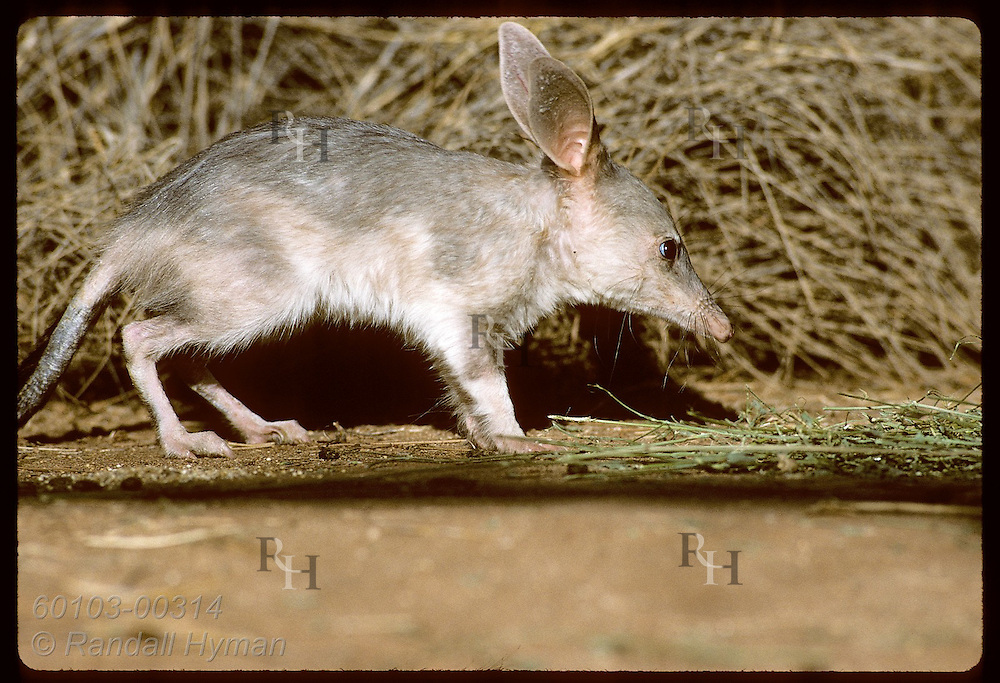 Rabbit-eared bandicoot, or bilby, rests beside spinifex grass in pen; Conserv Commssn of NT/Alice Australia