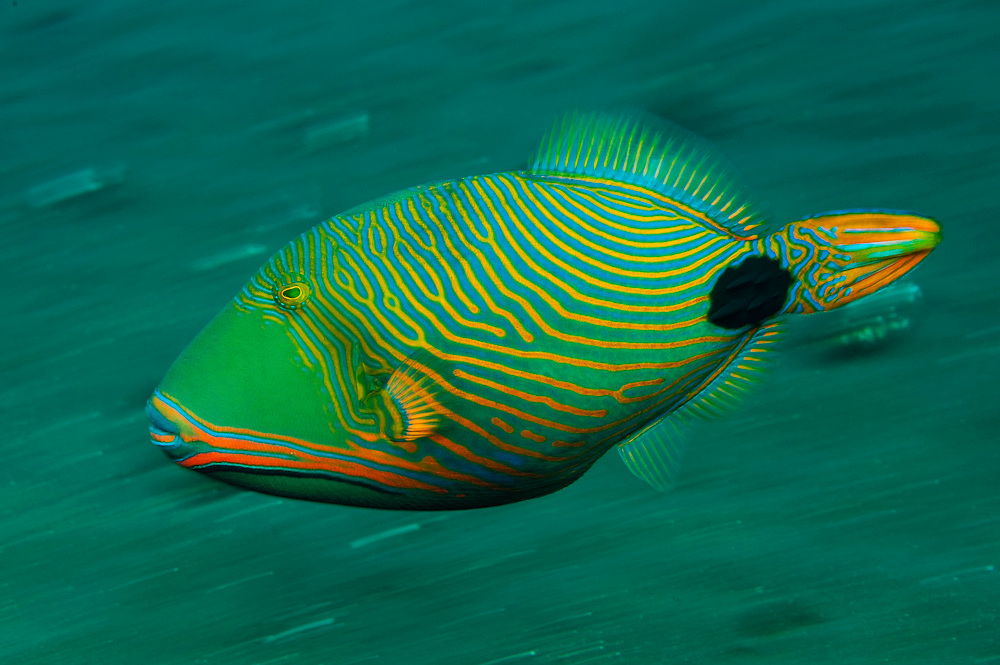 Orange-Lined Triggerfish (Balistapus undulatus) photographed on the Liberty wreck in Tulamben, Bali, Indonesia. Image available as a premium quality aluminum print ready to hang.