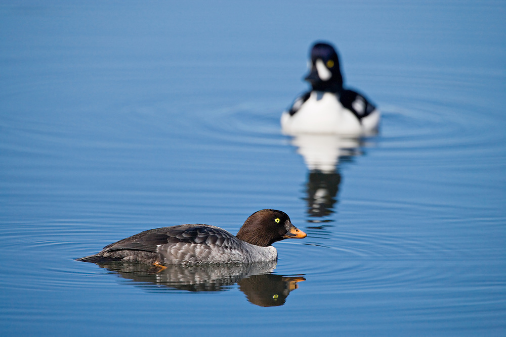 Male and female Barrow's Goldeneyes swimming in pond at Eagle River Nature Center in Chugach State Park in Southcentral Alaska. Spring. Morning.