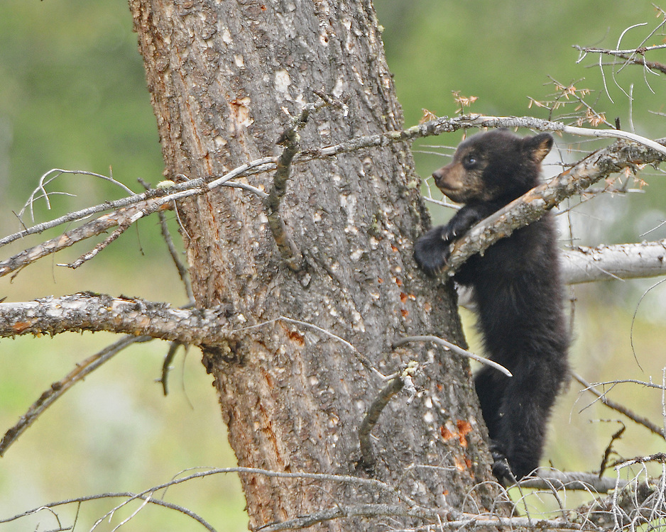 Black bear cubs weigh between four and eight pounds when they leave the den with their mother in late spring. When mother bear senses danger, she grunts to her cub to climb high up a tree, as was the case with this tiny cub-of-the-year observed near Tower Falls in Yellowstone Park.