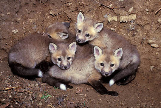 Red Fox, (Vulpus fulva) Young kits in den. Spring. Captive Animal.
