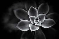 A close-up portrait of a succulent in black and white.