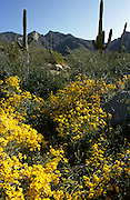 Saguaro cactus are surrounded by wildflowers with the desert in bloom in the foothills of the Santa Catalina Mountains in Tucson, Arizona.