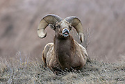 Rocky Mountain Bighorn ram exhibiting Flehmen Response during the breeding season.