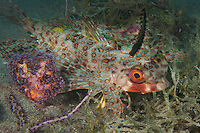 A Helmut Gurnard in defensive posture<br /> <br /> Shot in Indonesia