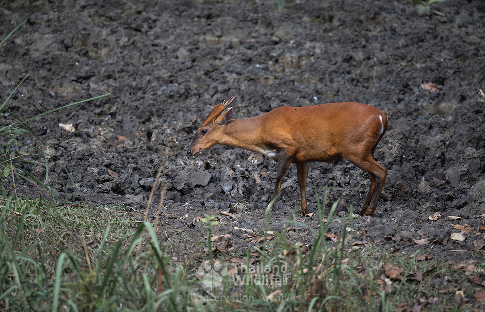 The common muntjac (Muntiacus muntjak), also called Southern red muntjac and barking deer, is a deer species of the genus Muntiacus. Seen here in the Thung Yai Naresuan Wildlife Sanctuary in Thailand.