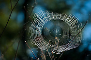 2017 OCTOBER 27 - A spider works on its web near Snoqualmie, WA, USA. By Richard Walker