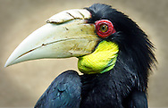 Wreathed hornbill, Bali, Indonesia