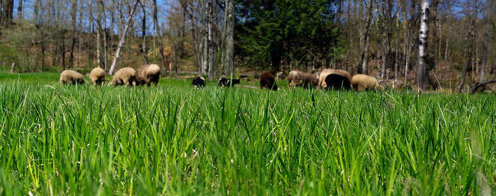 spring sheep flock on pasture