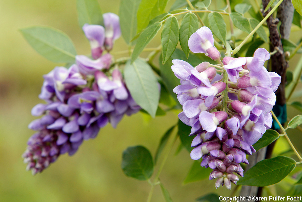 A Wisteria vine shows off its beautiful blooms.