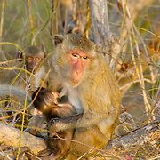A macaque mother feeding her baby