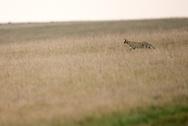 serval, Leptailurus serval , サーバル, 藪貓, بج