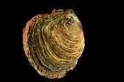 [captive] old European flat oyster (Ostrea edulis), Helgoland, Germany | alte Europäische Auster (Ostrea edulis)