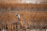Late winter with very little snow in the northern Utah valleys the local marsh looks and feels a little sterile but the Great Blue Herons are grouping together a hint spring is not too far away.