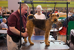 © Licensed to London News Pictures. 13/03/2016. Birmingham, UK. An Australian Terrier is groomed at Crufts 2016 held at the NEC in Birmingham, West Midlands, UK. The world's largest dog show, Crufts is this year celebrating it's 125th anniversary. The annual event is organised and hosted by the Kennel Club and has been running since 1891. Photo credit : Ian Hinchliffe/LNP