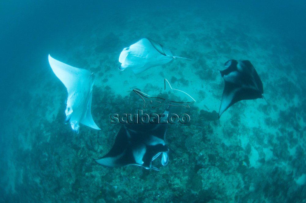 Several Manta Rays, Manta birostris, swimming in circles, from above, North Male Atoll, Maldives