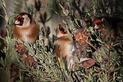 Goldfinch, New Zealand
