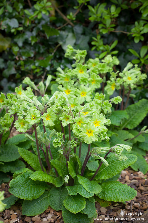 Primula 'Francisca' syn. Primula 'Francesca' growing at the base of hedge