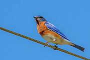 Male Eastern bluebird sitting on a wire