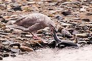 USA, Katmai National Park (AK)?.Immature glaucous-winged gull (Larus glaucescens) catching a salmon