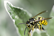 The common wasp, Vespula vulgaris is a yellowjacket wasp introduced to Australia and New Zealand. It is considered a pest species in New Zealand as it competes with endemic species for food such as insects and honeydew.