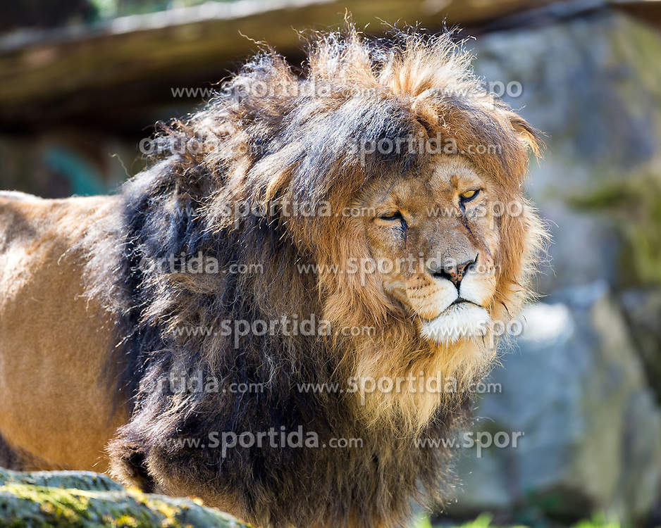 01.04.2016, Zoo, Duisburg, GER, Tiere im Zoo, im Bild Kopf eines maennlichen Loewen // during visit to the Zoo. Duisburg, Germany on 2016/04/01. EXPA Pictures &copy; 2016, PhotoCredit: EXPA/ Eibner-Pressefoto/ Hommes<br /> <br /> *****ATTENTION - OUT of GER*****