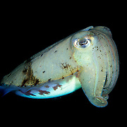 Cuttlefish Sepiidae sp. at Lembeh Straits, Indonesia.