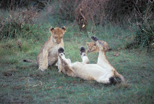 African Lion, (Panthera leo) Cubs playing together. Masai Mara Game Reserve. Kenya. Africa.