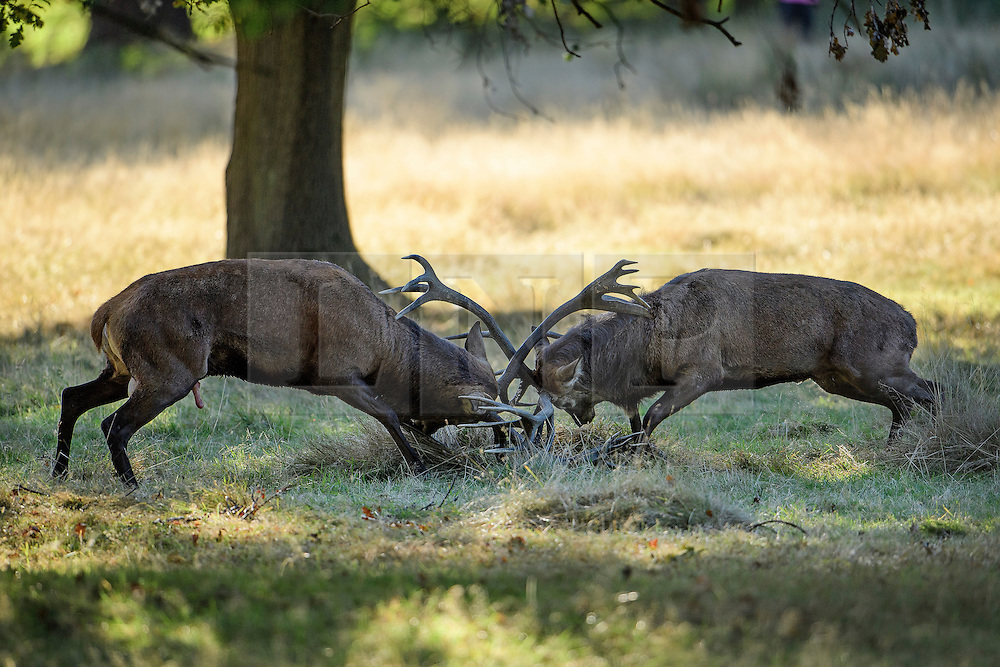 © Licensed to London News Pictures. 09/10/2016. London, UK. Two Red Deer stags rutting in Richmond Park in the early morning. Autumn sees the start of the rutting season where the large red deer stags can be heard roaring and barking in an attempt to attract females. The males can be seen clashing antlers with rival males. . Photo credit: Ben Cawthra/LNP