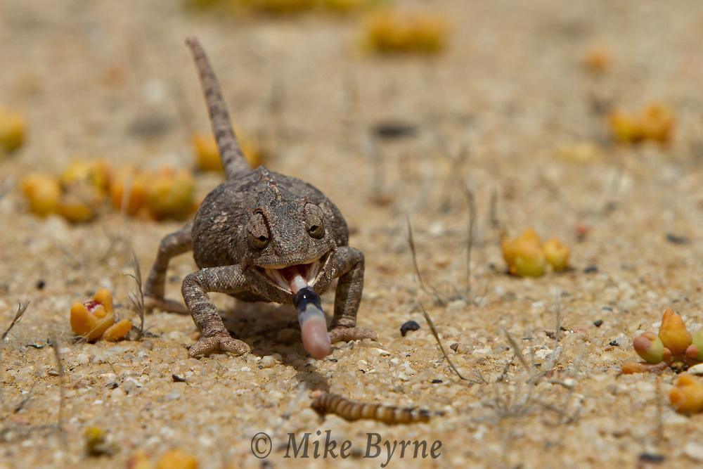 Namaqua Chameleon (or  Desert Chameleon - Chamaeleo namaquensis) near Swakopmund, Namibia.